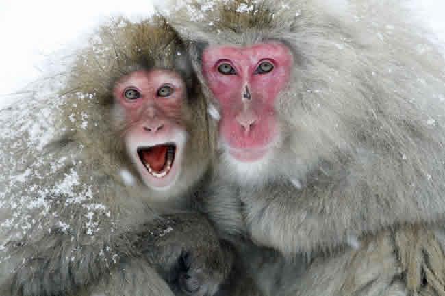 بوزینه ژاپنی یا میمون برفی